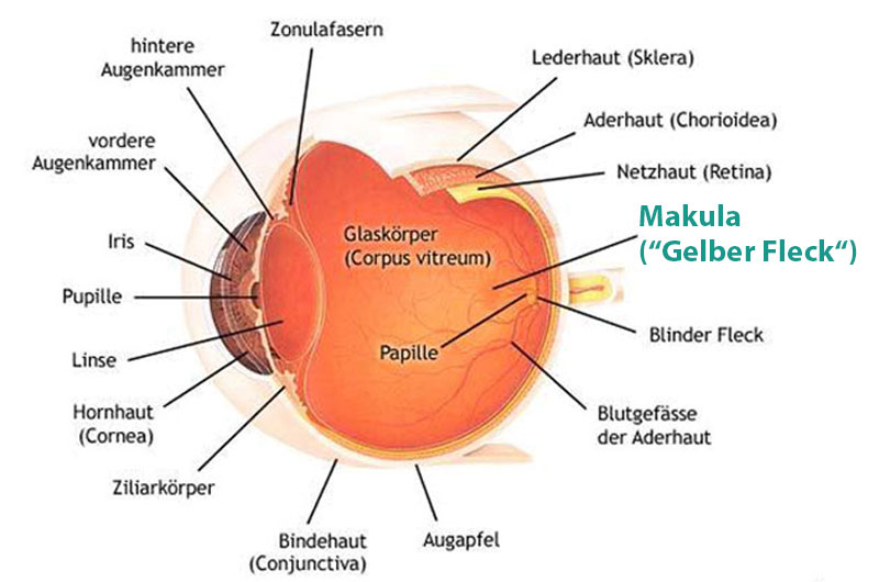 Informationen zu Makula-Erkrankungen - Maximilians-Augenklinik